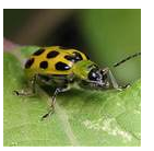 Cucumber Beetle - Common Pests in the Garden