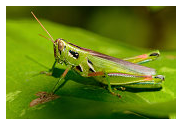 Grasshoppers - Common Pests in the Garden