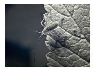 Whiteflies - Common Pests in the Garden