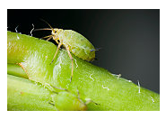 Aphids - Common Pests in the Garden